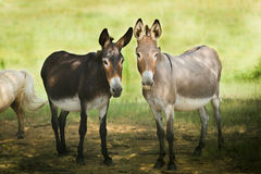 Dos donkeys Royalty Free Stock Photos