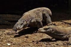 Dos dragones de Komodo en la isla de Komodo, Indonesia fotos de archivo