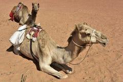 Dos dromedarios en el desierto de Wahiba, Omán imagen de archivo
