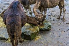Dos dromedarios que comen el heno junto, animales del desierto africano fotos de archivo libres de regalías