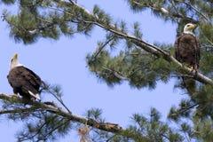 Dos Eagles calvo americano Imágenes de archivo libres de regalías