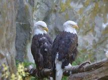 Dos Eagles calvo con los ojos soñolientos en un punto ocultado Imagen de archivo