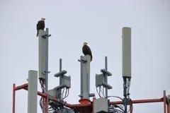 Dos Eagles calvo de acoplamiento y una torre de la transmisión Imagenes de archivo