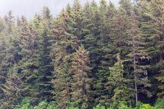 Dos Eagles en árboles de hoja perenne Foto de archivo libre de regalías