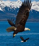 Dos Eagles en vuelo Imágenes de archivo libres de regalías