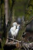 Dos Egrets de ganado Imagenes de archivo