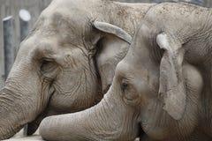 Dos elefantes Imagen de archivo libre de regalías