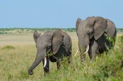 Dos elefantes africanos Fotografía de archivo libre de regalías