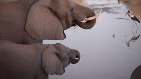 Dos elefantes africanos, adulto y bebé, agua potable del río almacen de metraje de vídeo