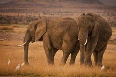 Dos elefantes africanos con las garcetas de ganado Fotos de archivo libres de regalías