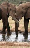 Dos elefantes africanos con los troncos entrelazados Imagenes de archivo