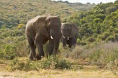 Dos elefantes africanos enormes que caminan a través de arbusto bajo Imágenes de archivo libres de regalías