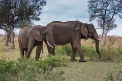 Dos elefantes africanos que caminan en el prado, parque de Kruger, Suráfrica Fotografía de archivo libre de regalías