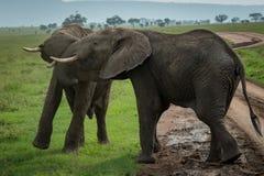 Dos elefantes africanos que luchan en el camino de tierra Fotos de archivo libres de regalías