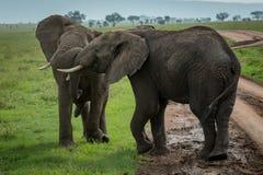 Dos elefantes africanos que luchan en pista de tierra Imagen de archivo
