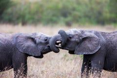 Dos elefantes africanos que se saludan con los troncos y el tacto de las bocas Imagen de archivo libre de regalías