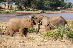 Dos elefantes africanos que se saludan con los troncos y el tacto de las bocas Fotografía de archivo libre de regalías