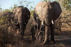 Dos elefantes, de frente Imagen de archivo