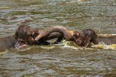 Dos elefantes del bebé que juegan con uno a en el agua en un parque zoológico Fotografía de archivo libre de regalías