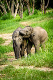 Dos elefantes del bebé que juegan en campo del prado. Imágenes de archivo libres de regalías