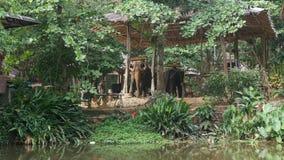 Dos elefantes domésticos usados para la selva turística viajan en Tailandia - 4k almacen de video