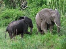 Dos elefantes en la vegetación verde Fotografía de archivo libre de regalías