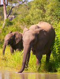 Dos elefantes en Suráfrica Fotografía de archivo
