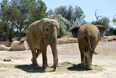Dos elefantes están descansando en el safari salvaje de África Foto de archivo libre de regalías