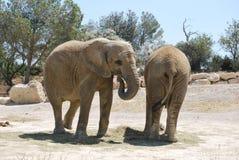 Dos elefantes están descansando en el safari salvaje de África Imagen de archivo