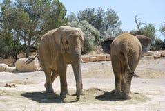 Dos elefantes están entrando en el safari salvaje de África Imagen de archivo libre de regalías