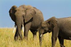 Dos elefantes gigantes grandes en el Masai Mara imágenes de archivo libres de regalías