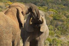 Dos elefantes grandes que empujan y que se empujan imagenes de archivo