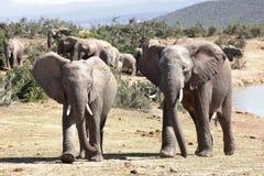 Dos elefantes masculinos fotografía de archivo