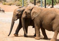 Dos elefantes que caminan en el camino en un safari parquean Foto de archivo libre de regalías