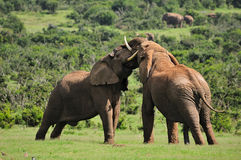 Dos elefantes que luchan, Addo, Afric del sur Fotografía de archivo libre de regalías