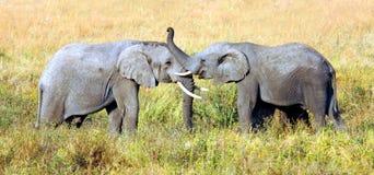 Dos elefantes se están saludando con allí el tronco imágenes de archivo libres de regalías