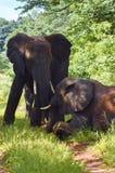 Dos elefantes una situación una que coloca Imagen de archivo libre de regalías
