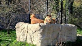 Dos endechas femeninas de los leones encima de la roca en un parque zoológico almacen de metraje de vídeo