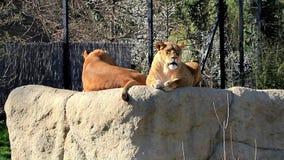 Dos endechas femeninas de los leones encima de la roca en un parque zoológico almacen de video