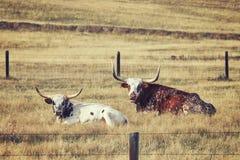 Dos entonados retros Texas Longhorns que descansa sobre un prado seco Fotografía de archivo