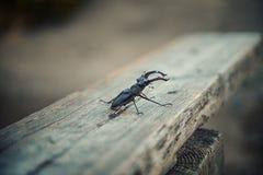 Dos escarabajos de macho Foto de archivo