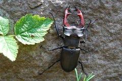 Dos escarabajos de macho Imagenes de archivo
