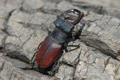 Dos escarabajos de macho Fotos de archivo libres de regalías