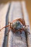 Dos escarabajos de macho Imagen de archivo libre de regalías