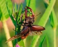 Dos escarabajos de macho fotografía de archivo libre de regalías