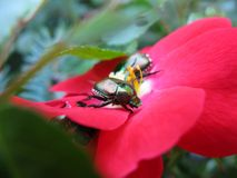 Dos escarabajos japoneses que comen una rosa roja Imagenes de archivo