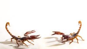 Dos escorpiones Imagen de archivo