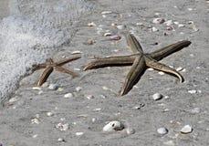Dos estrellas de mar (estrellas de mar) Imagenes de archivo