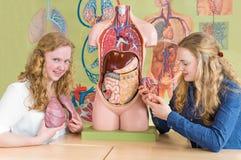 Dos estudiantes estudian los órganos humanos en la lección de la biología Imágenes de archivo libres de regalías