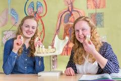 Dos estudiantes que exploran el mandíbula modelan con los dientes en biología Imagen de archivo libre de regalías